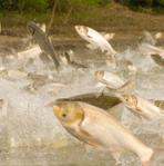 Asian carp jumping