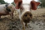 Pig_hog_farm