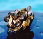 Zebra mussels-green