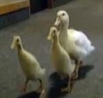 Mail ducks