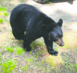 bear shot near Ely