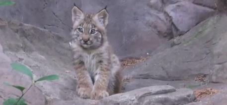 Minnesota Zoo lynx