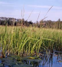 wild rice water