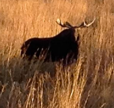 moose near Winthrop