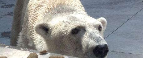 Berlin the polar bear