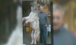 huge wolf trapped