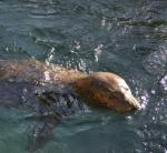 Vivian the seal