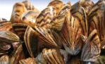 Zebra_Mussels_1.gif (602×385)