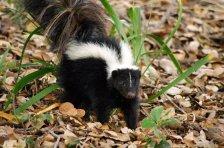 Skunk_rabies.jpg.728x520_q85
