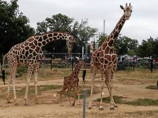Como Zoo's newest giraffe made her debut Sunday. (Courtesy of Como Zoo)