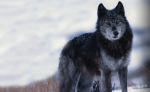 wolf hunt