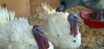 Presidential turkeys (screengrab -- WDAY)