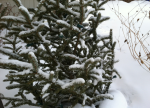 snow winter evergreen ben grove photo (green)