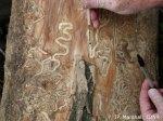 emerald ash borer larvae indiana dnr photo