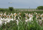 pelicans in North Dakota
