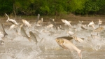 Asian carp image -- cropped