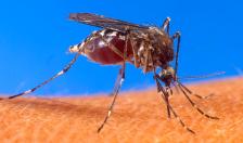 mosquito (green) usda image