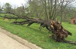 This tree fell onto a car and a police officerf during a traffic stop in Centerville, Iowa.