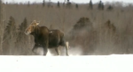 Moose in Minnesota