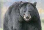 black-bear-dnr-website