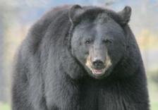 black-bear-dnr-website