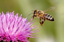 Honeybee and thistle
