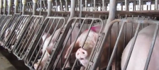 cargill, pigs, hogs, sows, tyson, smithfield, pork, gestation crates
