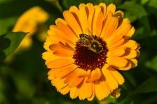honeybee on flower flickr green with attribution