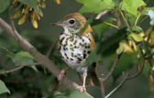 Wood thrush songbird (green)