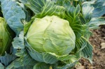 head of cabbage in field