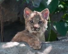 lynx-cub Photo Credit to Galen Sjostrom:Minnesota Zoo