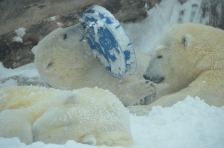 Sakari and Suka polar bears toledo zoo to como zoo GREEN with credit