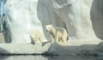 Sakari and Suka toledo zoo polar bear cubs to como zoo youtube ss