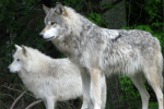 dnr wolves