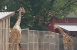 wisconsin-zoo-giraffe-kick