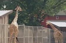 wisconsin-zoo-giraffe-kick