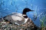 common-loon-bird-sitting-on-nest