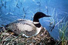 common-loon-bird-sitting-on-nest