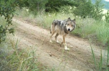 gray wolf via us fish and wildlife service flickr