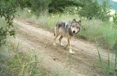 Gray Wolf Pets a Gray Wolf