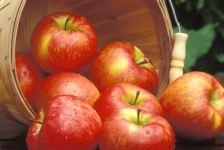 Honeycrisp apples (photo -- University of Minnesota).