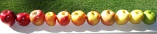 lineup of apple varieties forest and kim starr flickr