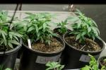marijuana grown in colorado via flickr