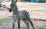 ruckus-zebra2