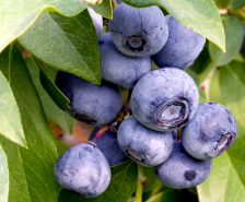 blueberries wiki