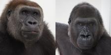 como zoo gorilla moms