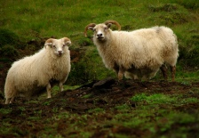Lydia and Jared Strand are raising Icelandic sheep on their Little Falls farm.