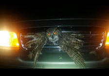 owl stuck in car