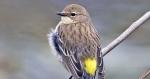Yellow-rumpled warbler songbird (green)