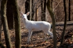 Albino deer spotted near Mille Lacs ISTOCK GETTY REUSE OK
